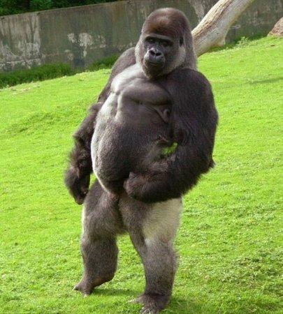 Забавная походка гориллы Амбам