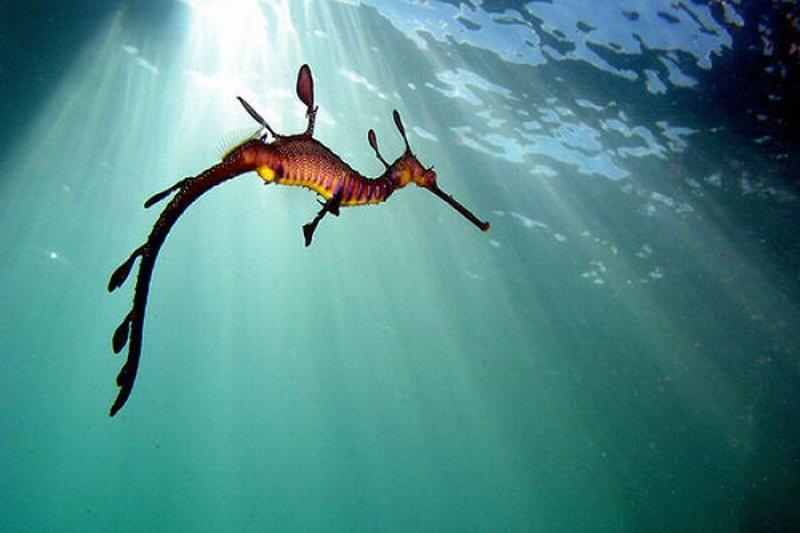 Лиственные морские драконы (44 фото) .