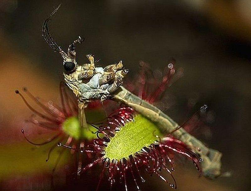 цветок ловящий насекомых