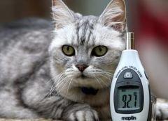 Британский кот мурлычет громче приземляющегося Боинга