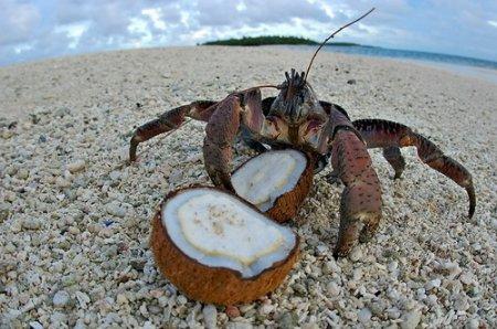 Краб - пальмовый вор