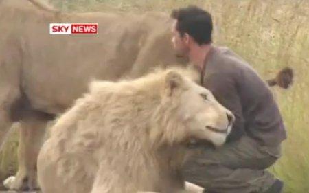 Дружба со львами