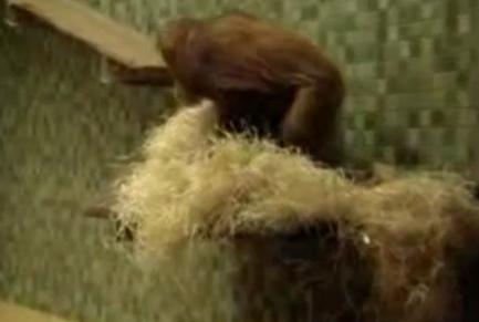 Неуклюжий орангутанг