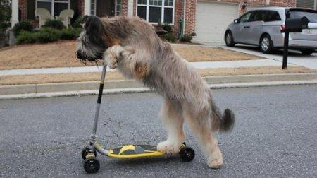 Собака, катающаяся на скутере