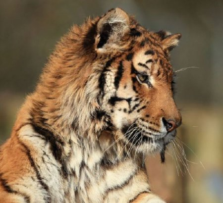 Амурский тигр и его популяция