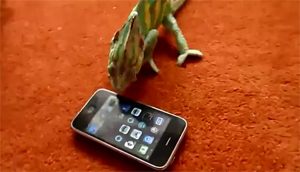 Хамелеон и айфон