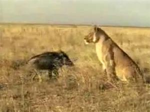 Кабан против льва