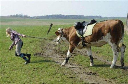 Корова вместо лошади
