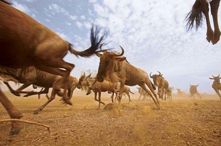 Миграция животных