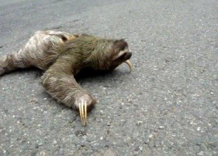 Как ленивец перебегает дорогу