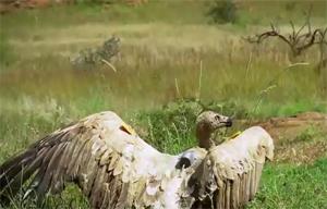 Полёт с орлами