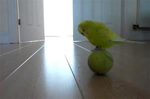 Баланс попугая на теннисном мячике