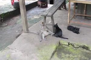 Обезьяна пристала к кошке