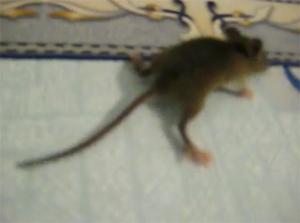 Мышка-паук