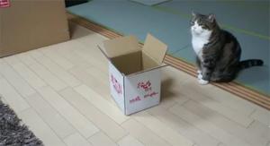Кот Мару пытается влезть в коробочку