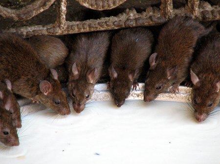 Священные крысы Карни Мата