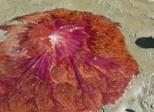 Гигантская медуза в США
