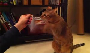 Усатый-полосатый кот Тайсон