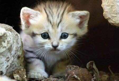 Песчаные кошки