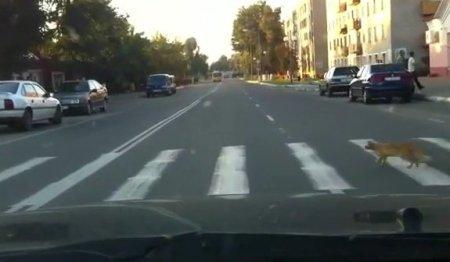 Кот знает свои права пешехода!