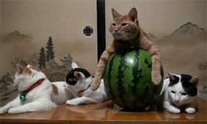 Невозмутимый кот в арбузе