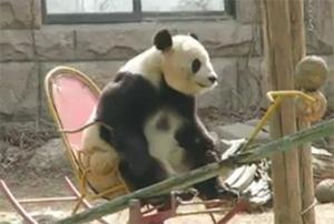 Панда на кресло-качалке