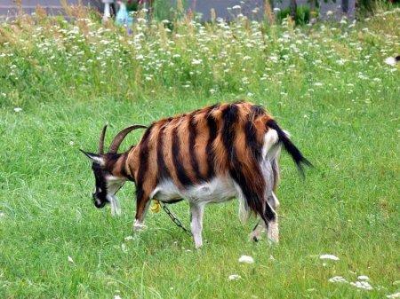 Тигровая коза
