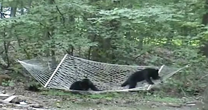 Медвежата в гамаке
