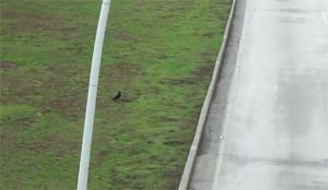 Беги, утка, беги!