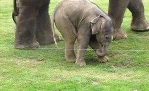 Первые шаги слоненка