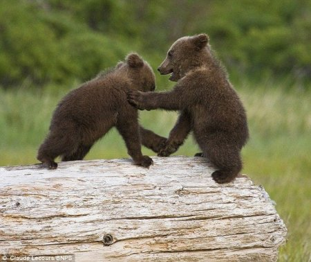 Петербургские депутаты  повысили штрафы до 5 тыс. рублей за непривитых медвежат