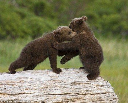 Поединок медвежат
