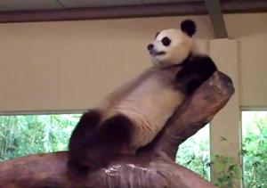 Из жизни прикольной панды