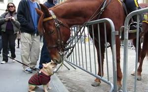 Знакомство питбуля и лошадки