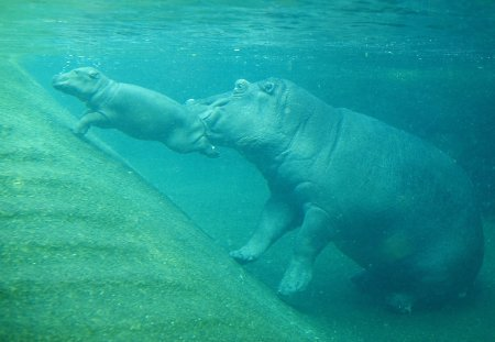 Маленький гиппопотам в зоопарке Берлина
