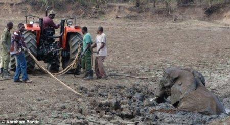 Спасение слонихи и ее детеныша
