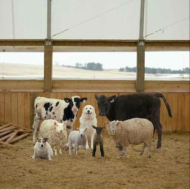 Фото деревенских животных