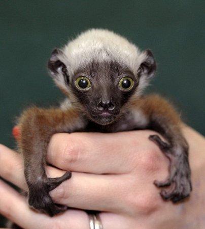 В зоопарке Балтимора родилась ореховая сифака