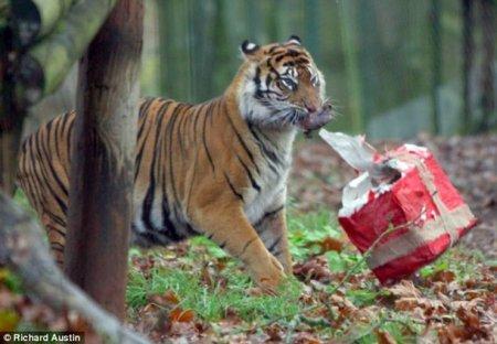 Подарок для тигрицы