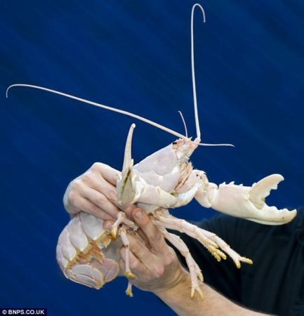 Счастливчик омар-альбинос
