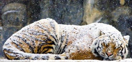 Спящий под снежным одеялом тигр