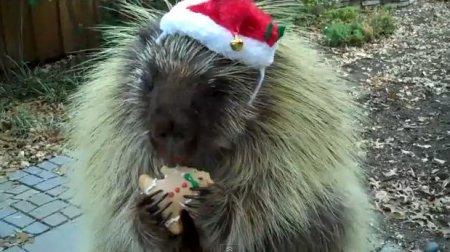 Дикобраз Тедди ест печеньки
