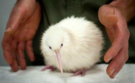 В Новой Зеландии родился белый киви