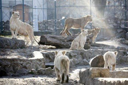 В зоопарке Белграда родились четыре белых львенка
