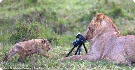 Львица-фотограф