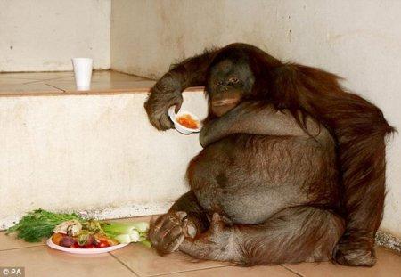 Толсты орангутан похудел после диеты на 20 кг