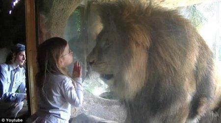 Трёхлетняя девочка не побоялась разъярённого льва