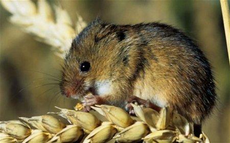 Арестованы двое голландцев за жестокое обращение с мышью