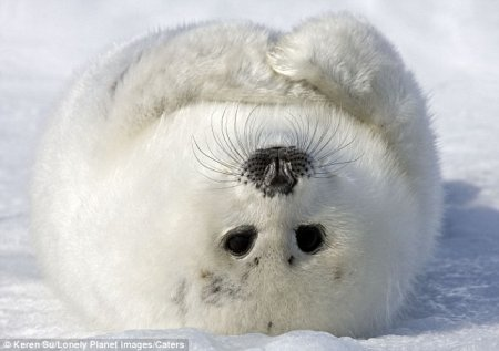 Фотографии дня: Улыбающийся детеныш тюленя