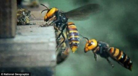 30 шершней уничтожили более 30 тысяч пчел